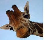 Giraff Manor Kenya