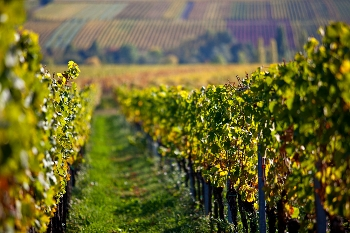 Tour Strada del Vino - Vigneti a Deidesheim